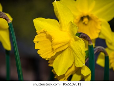 Yellow narcissus and insect in spring (Narcissus poeticus)