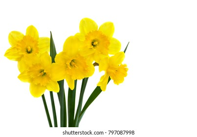 Yellow narcissus on a white background with space for text