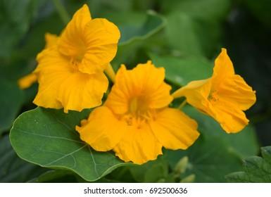 Yellow nasturtium, cluster of flowers