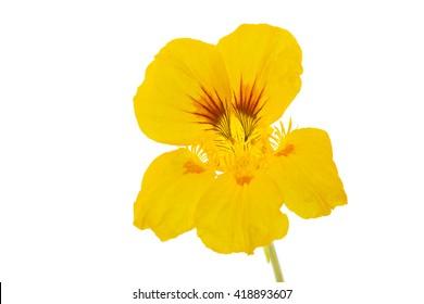 Yellow Nasturtium flower, isolated on white background