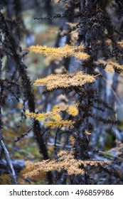 Yellow needles of the Siberian larch and lichen on the black branches in the forest in autumn. Evenkiya, Krasnoyarsk region, Russia, taiga, Siberia