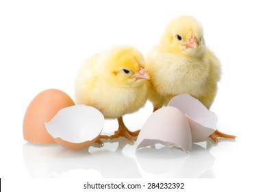 Yellow newborn chickens with broken egg shells on white