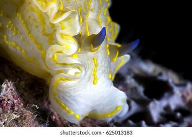 Yellow nudibranch.