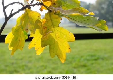 yellow oak leafs, pasture