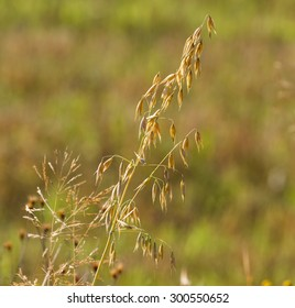 Yellow oats on natural background