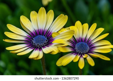 Yellow Oesteospermum Daisy Flowers with Purple Outer and Blue Center - 'Blue Eyed Beauty'