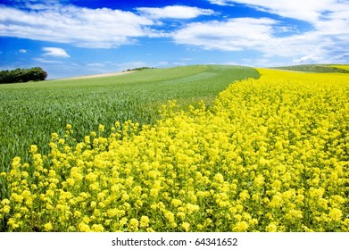 yellow oil rapeseed field in the springtime