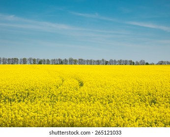 Yellow oilseed rape field under the blue sky of Ukraine.