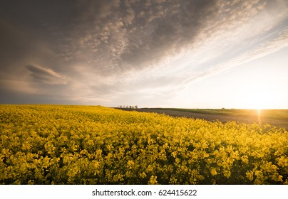 Yellow oilseed rape field under the blue bright sky with sun