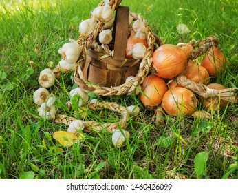 Yellow onion and garlic on a rope, braid, in a basket are drying in the garden of a house in a village.