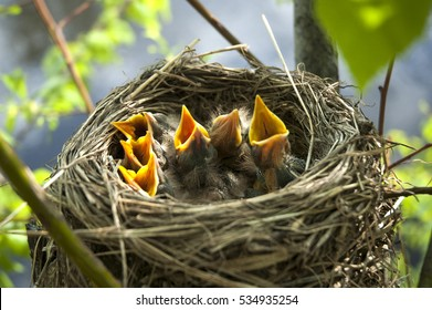 yellow open-mouthed birds in nest