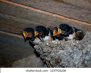 Yellow open-mouthed swallow birds shout in nest. Hungry martin birds screaming for food waiting mother in nest. Barn swallow baby birds shouting angry. Hirundo rustica birds screaming in parents nest
