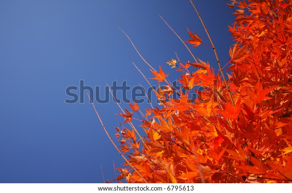 Yellow Orange Autumn Leave with a Blue Sky Background for Copy space