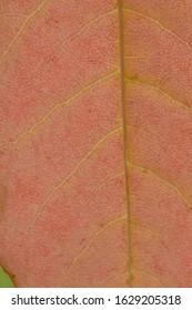 Yellow orange autumn leaves and veins, Washington Park Arboretum, Seattle