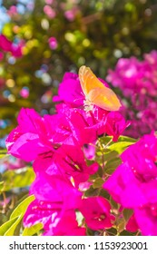 A yellow orange butterfly on pink bougainvillea flowers with a pretty defocused bokeh in the background