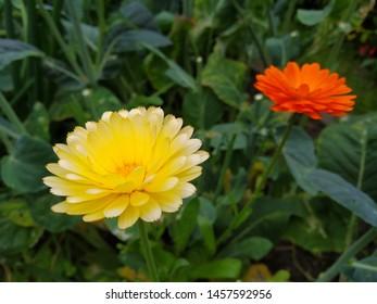 A yellow and orange calendula growing wild
