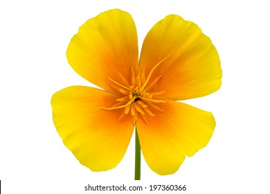 Four petal flowers images stock photos vectors shutterstock four petals yellow orange california poppy eschscholzia californica flower isolated on white background mightylinksfo