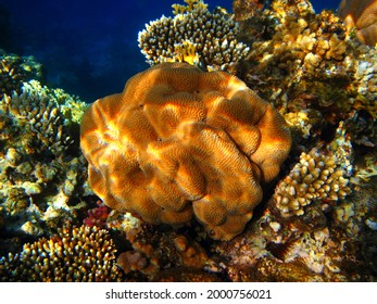 Yellow orange coral, underwater shallow tropical reef. Coral detail, underwater photography from scuba diving in the warm ocean. Colorful marine life. Healthy corals, wildlife in the sea.