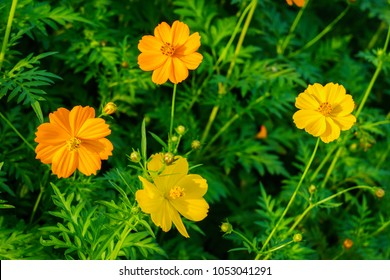 Yellow and orange Cosmos sulphureus plant in a flower field. It is also known as sulfur cosmos.