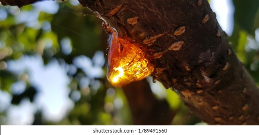 Yellow and orange drop of tree resin in sunlight, on a branch (side view).