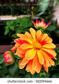 Yellow orange flower isolated, selected focus.
