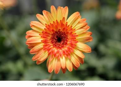 Yellow orange Gerbera Daisy in the Wild Gardens
