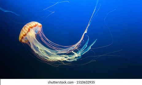 Yellow and orange Jellyfish dansing in the dark blue ocean water.