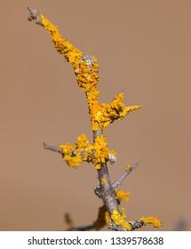 Yellow orange lichen, Xanthoria parietina, growing on a tree branch
