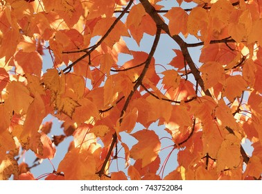 Yellow orange maple leaves closeup