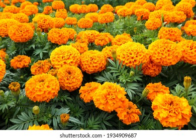 yellow and orange marigold flowers close up in the park