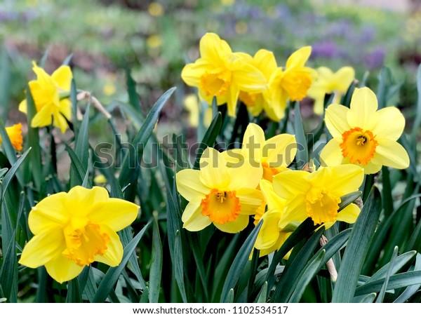 yellow-orange-narcissus-flowers-600w-110
