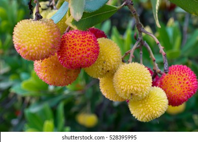 Yellow, orange and red fruits of the Strawberry tree (Arbutus Unedo) hanging from a tree at a park in California, USA