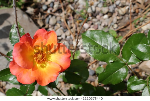 Yellow and orange rose in bottom left corner with green leaf and brown background