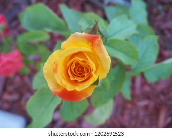 Yellow orange rose lined with morning dew