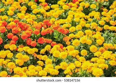 yellow and orange tagetes, erecta, marigold