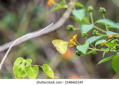 Yellow Orange Tip (Formal Name: Ixias pyrene)