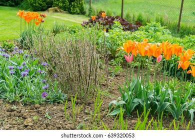 Yellow and orange tulips in a garden