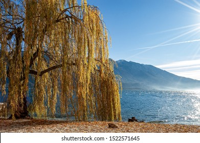 Yellow and orange weeping willow tree (Salix babylonica) in winter. Beach of the village of Limone sul Garda, with the lake and the Mount Baldo, Lombardy and Veneto, Italy, Europe