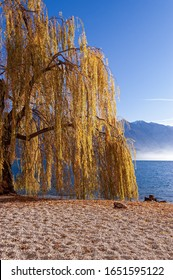 Yellow and orange weeping willow tree (Salix babylonica) in winter. Beach of the village of Limone sul Garda, with the lake Garda and the Mount Baldo, Lombardy and Veneto, Italy, Europe