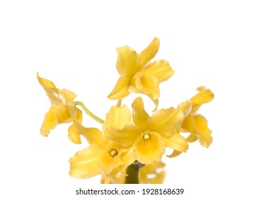 Yellow orchid flower bloom isolated on white background included clipping path.