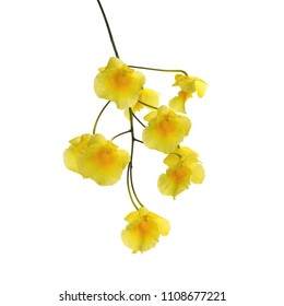 yellow orchid flower - Dendrobium Chrysotoxum on white background