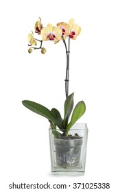 Yellow Orchid flower with glass pot isolated on white background.