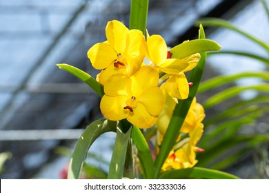Yellow Orchid Flower isolated on blue sky background