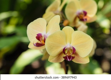 Yellow orchid flowers closeup for background