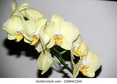 Yellow orchid isoleted