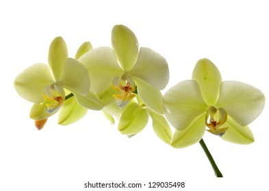 Yellow orchid on white