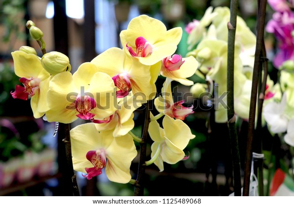yellow orchid with red mouth on blur background