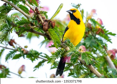 A Yellow Oriole perches in a Calliandra tree.