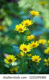yellow ornamental flowers, blina in the garden, source of pleasure but also allergy