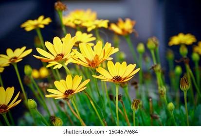 Yellow Osteospermum flowers against a dark background